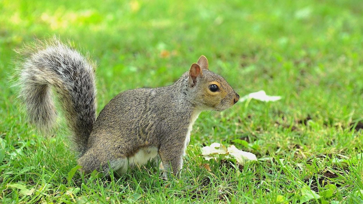 Un écureuil dans le parc La Fontaine à Montréal