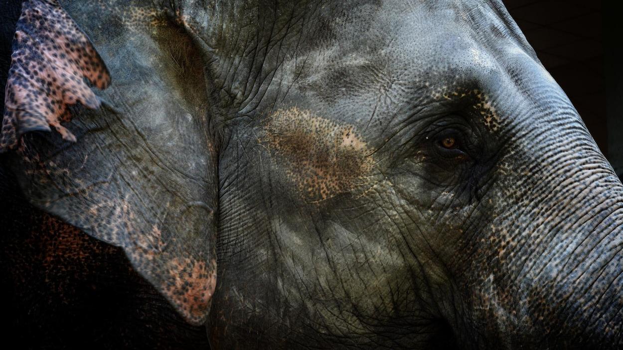 La tête d'un éléphant d'Asie.