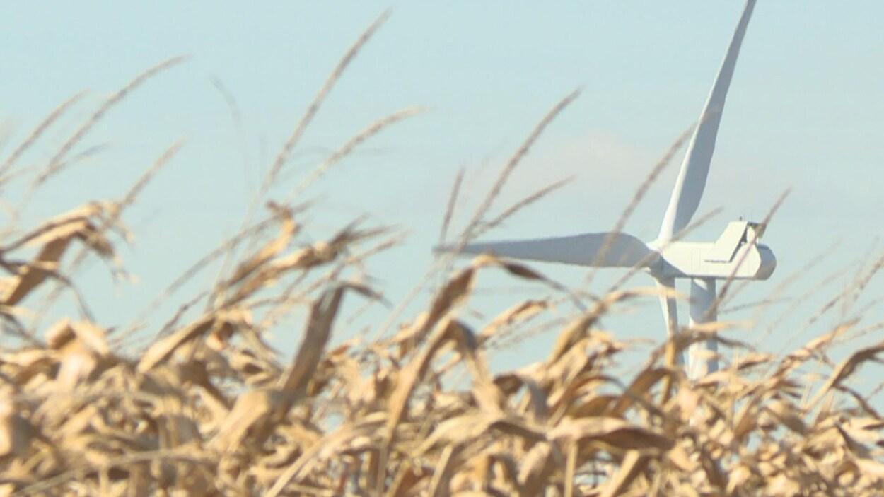 Une éolienne dans un champs de maïs.
