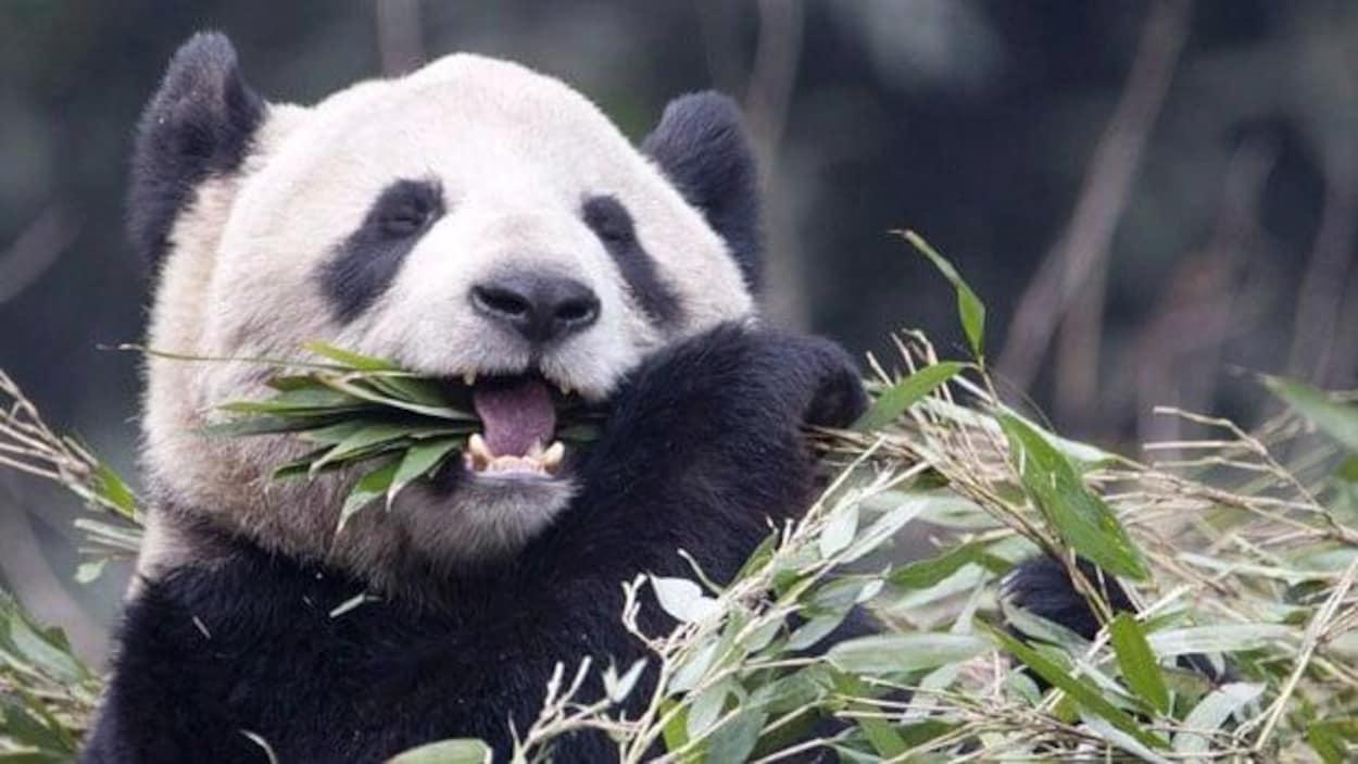 Un panda mange du bambou.