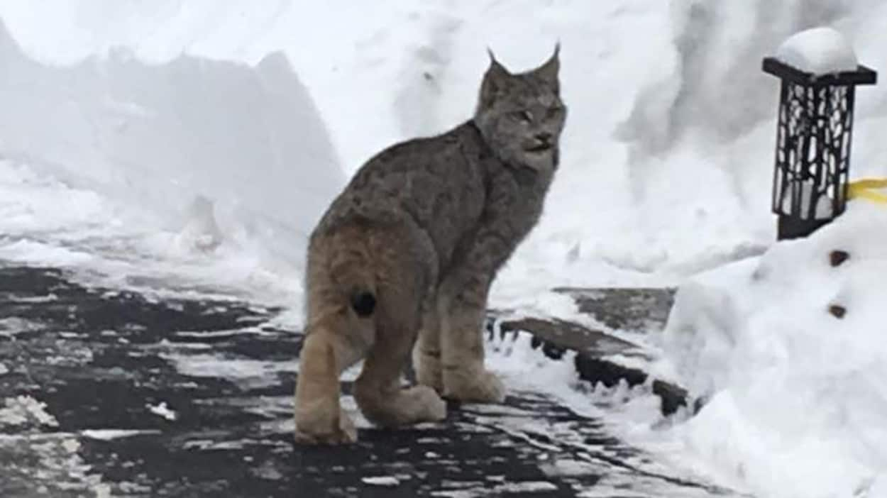 Un lynx qui marche dans une cour arrière enneigée.