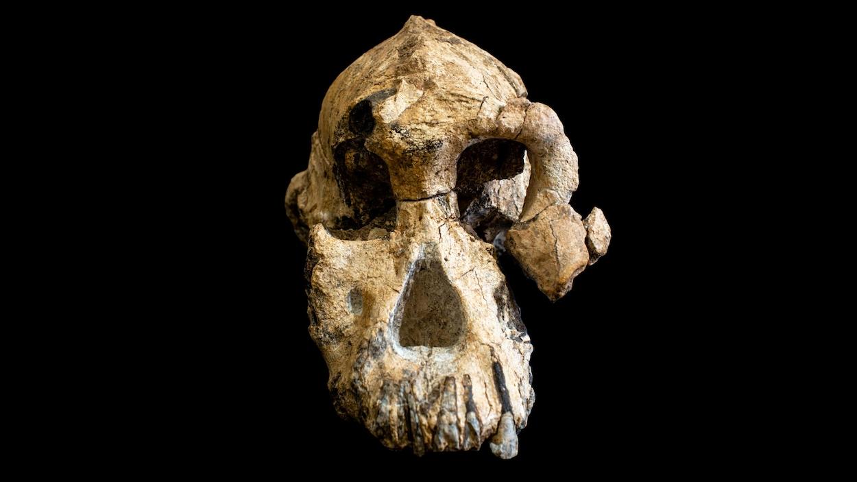 Un crâne fossilisé sur fond noir