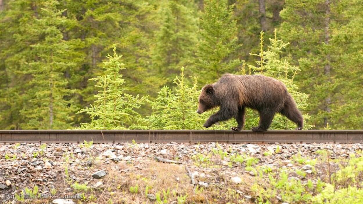 Un grizzly marche sur des rails.