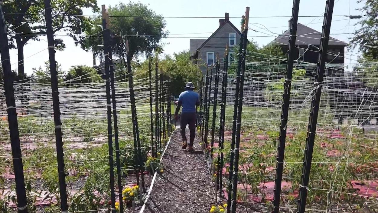 Un homme avec un chapeau se déplace à travers des plants supportés par des tuteurs.