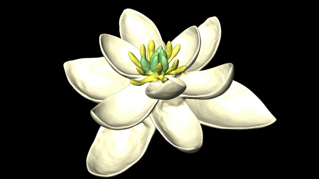 Modèle de la fleur ancestrale