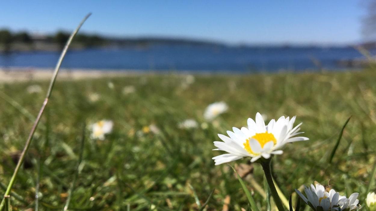 Une pâquerette dans un champ en premier plan et au loin l'océan.