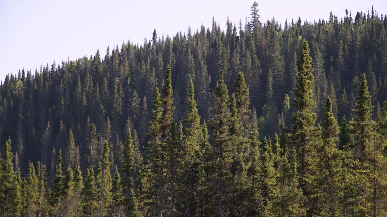 Des arbres dans la forêt boréale