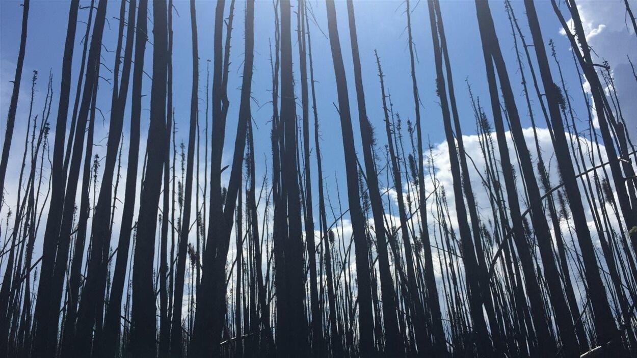 Une parcelle de forêt près de Fort McMurray complètement brûlée du sol à la cime des arbres.