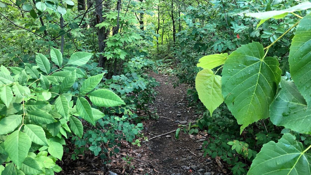 Un sentier serpente entre les arbres.