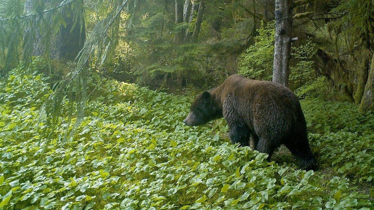 Un grizzly ans la forêt pluviale du Grand Ours en Colombie-Britannique.