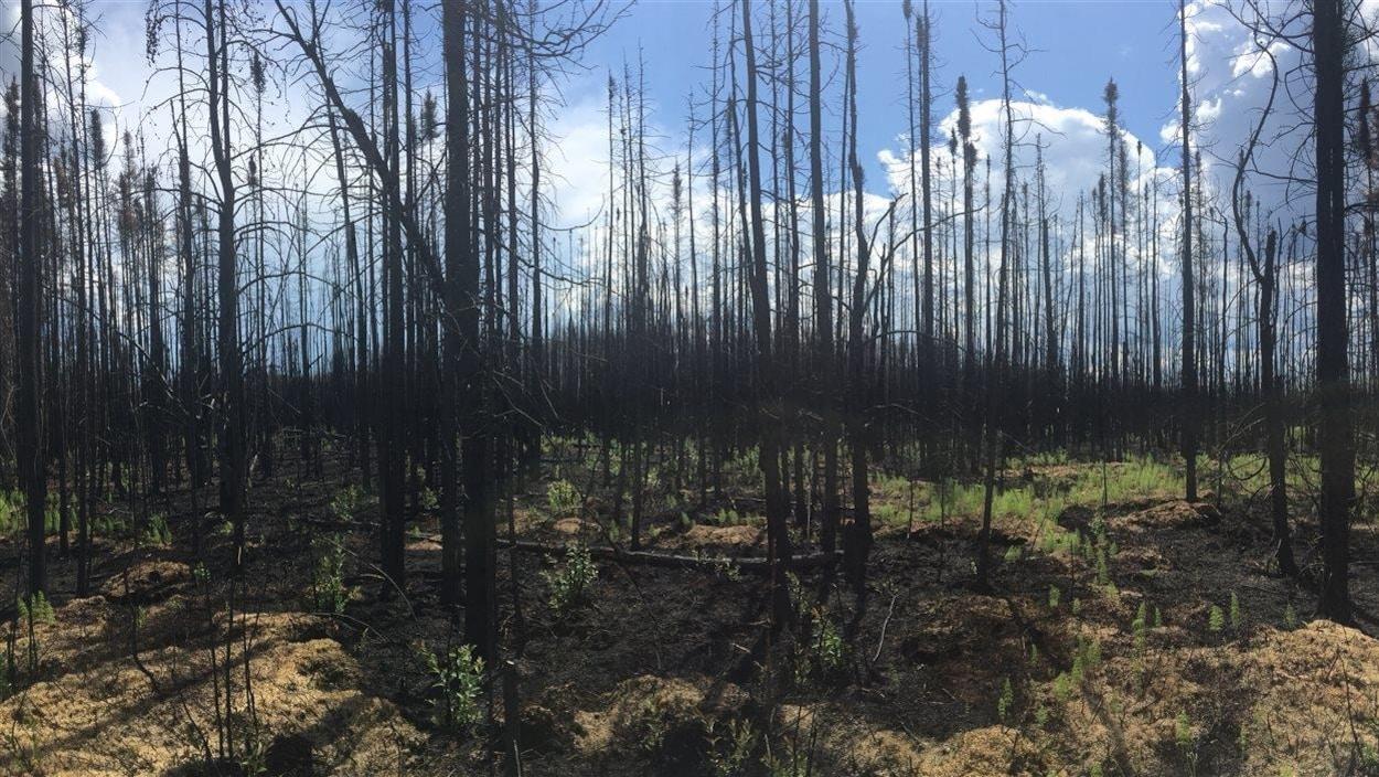 Une parcelle de forêt près de Fort McMurray, dont le sol et les racines ont résisté au feu leur permettant déjà de verdir.