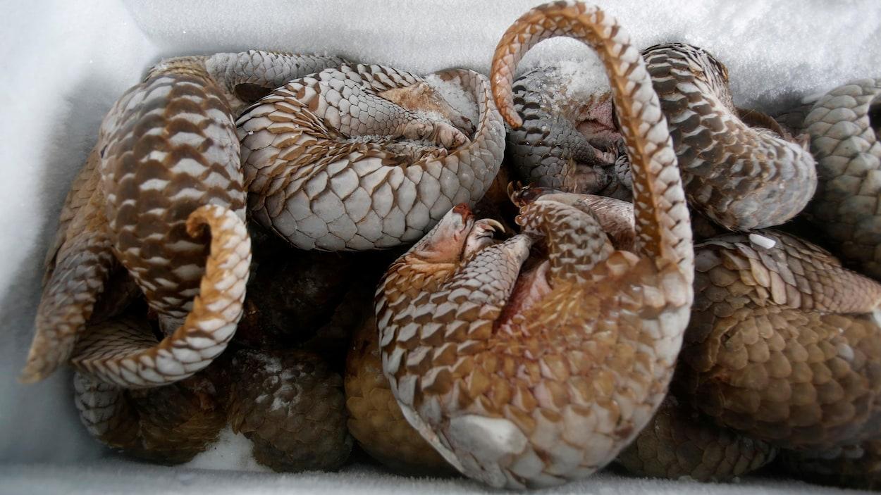 Des fourmiliers écailleux sont entassés dans un congélateur.