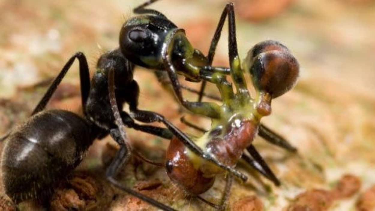 Deux fourmis qui se battent.
