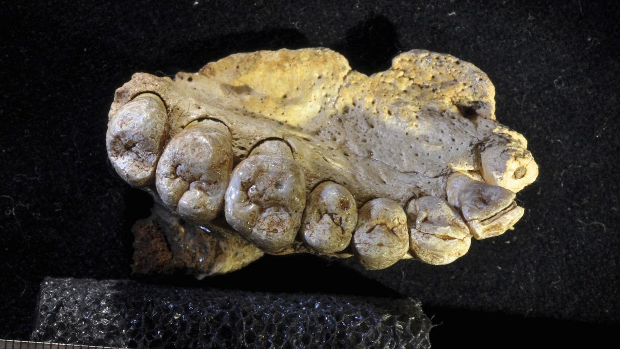 Fragment de mâchoire du plus ancien Homo sapiens trouvé hors d'Afrique; ce fossile a été trouvé dans la grotte de Misliya, en Israël.