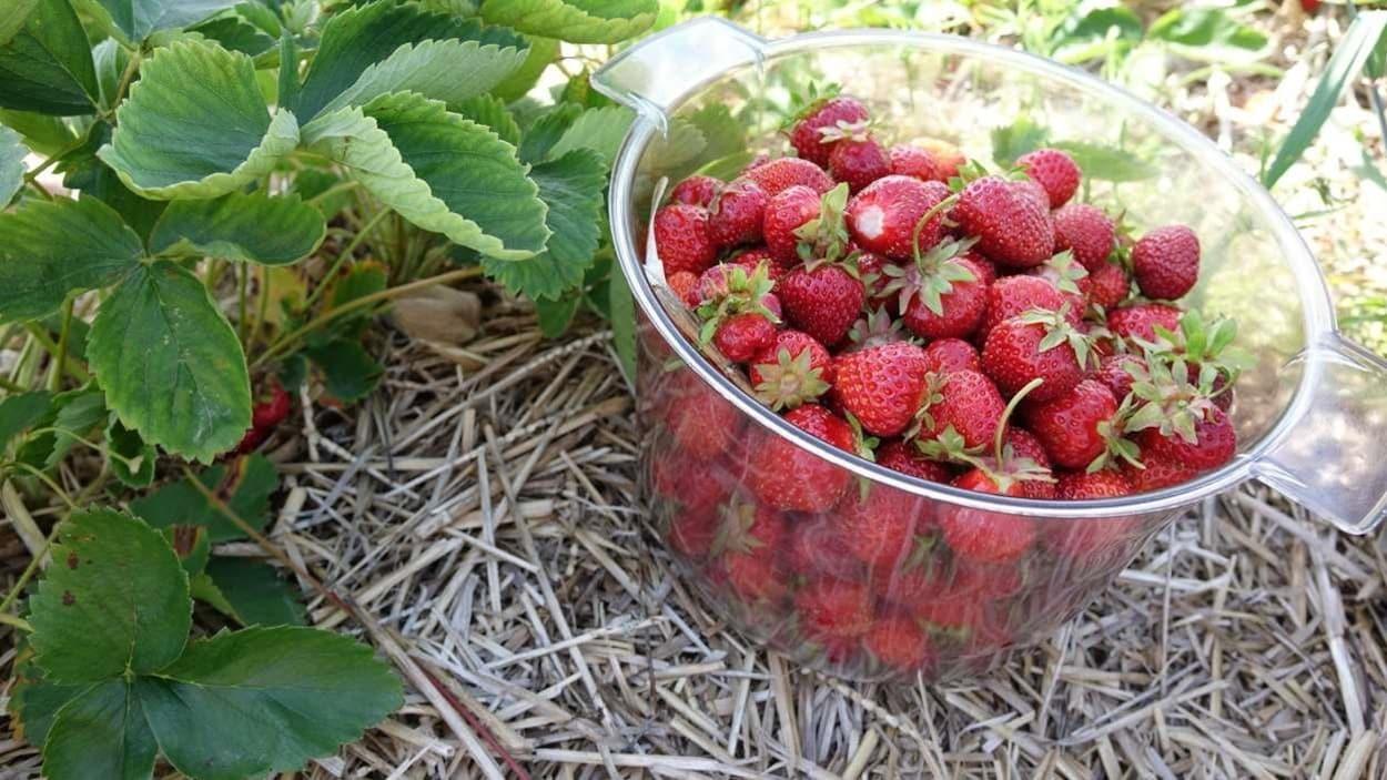 Plat de fraises dans les champs.