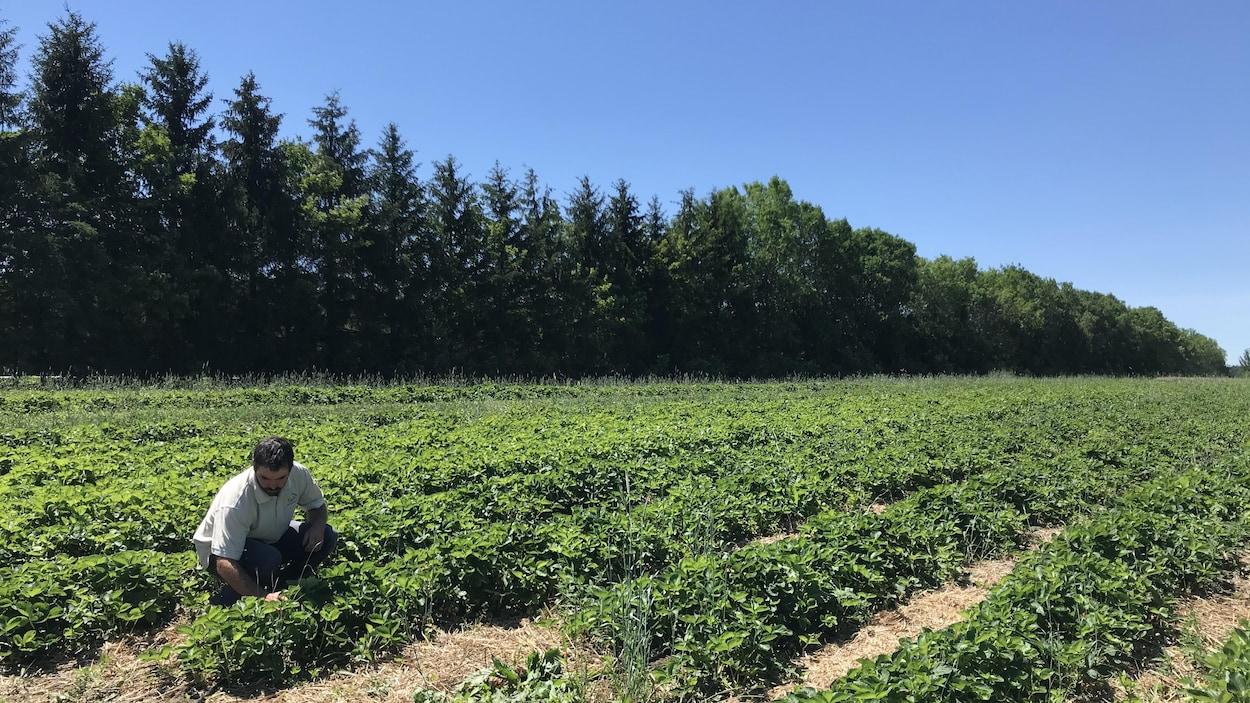 En début de saison, de nombreux producteurs de fraises craignaient de devoir jeter leurs fruits en raison du manque de main-d'oeuvre étrangère dans les champs.