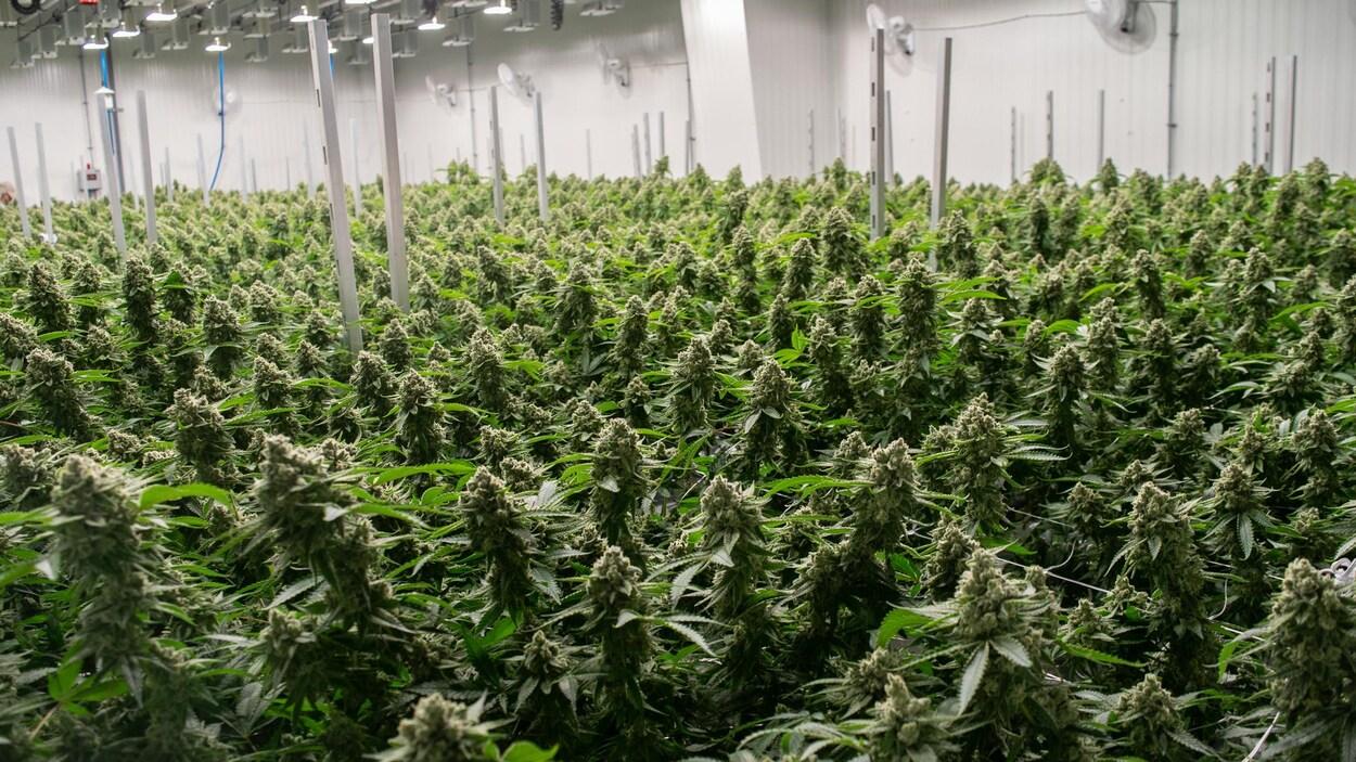 Plan large de plants de cannabis.