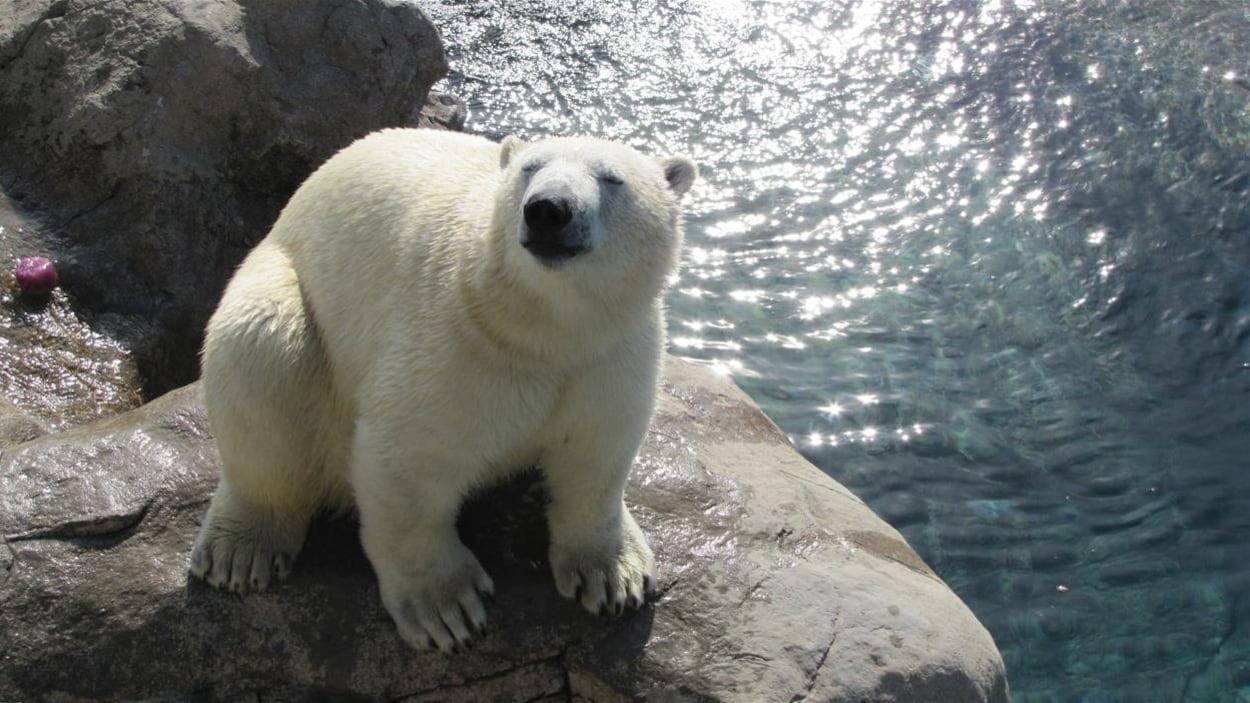 Ganuk, le nouvel ours polaire à Cochrane.