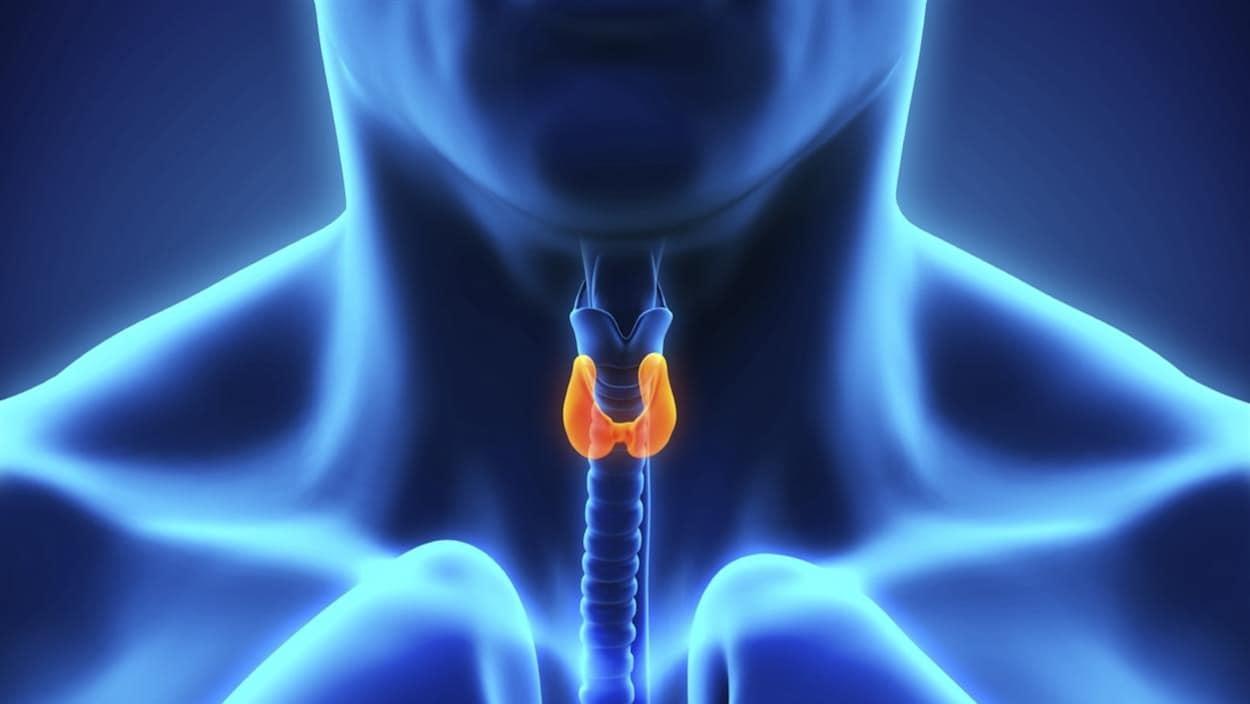 La glande thyroïde