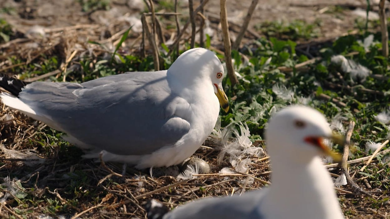 On voit en gros plan un goéland dans son nid, qui couve ses oeufs.