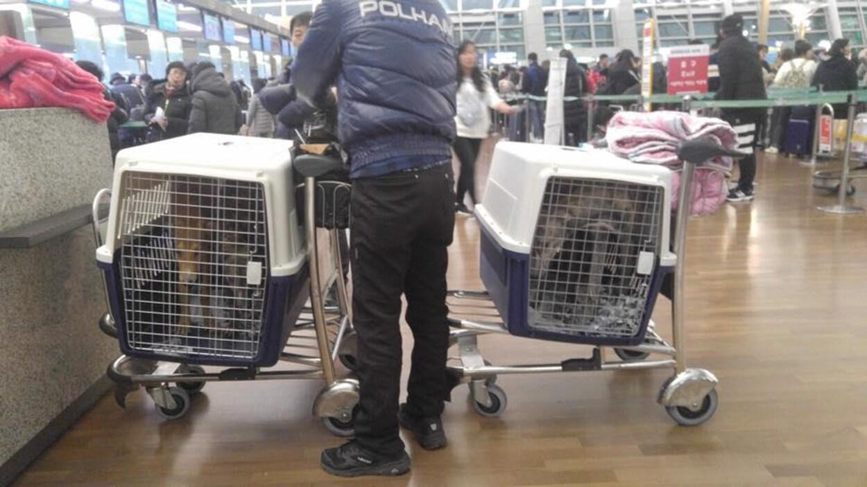 Deux chiens dans des cages à l'aéroport.