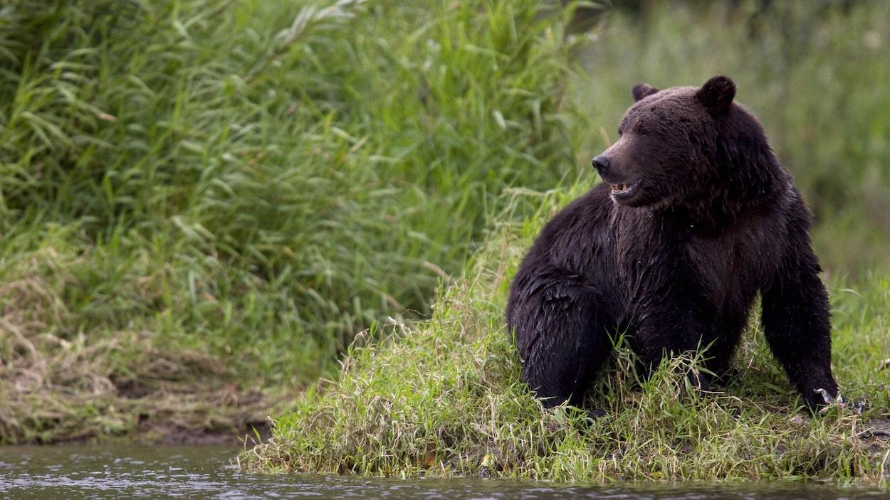 Un grizzly se repose au bord d'une rivière du parc provincial de Tweedsmuir, près de Bella Coola, en Colombie-Britannique.