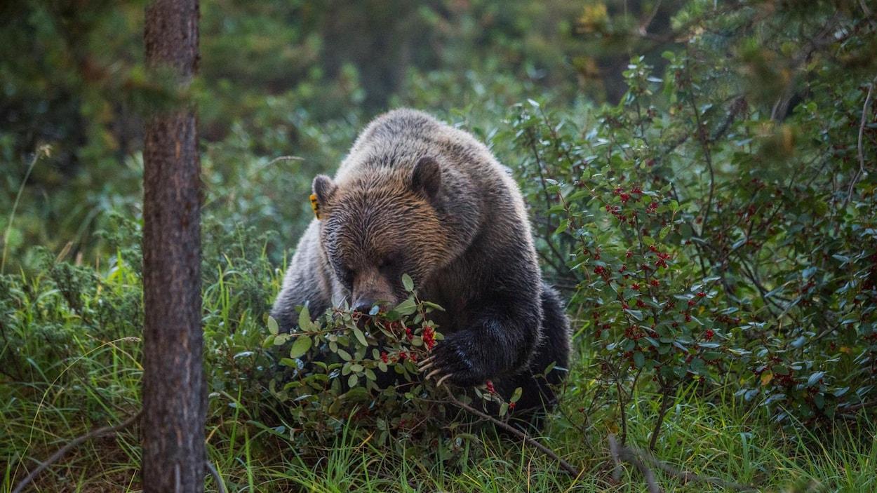 Un ours mange des baies.