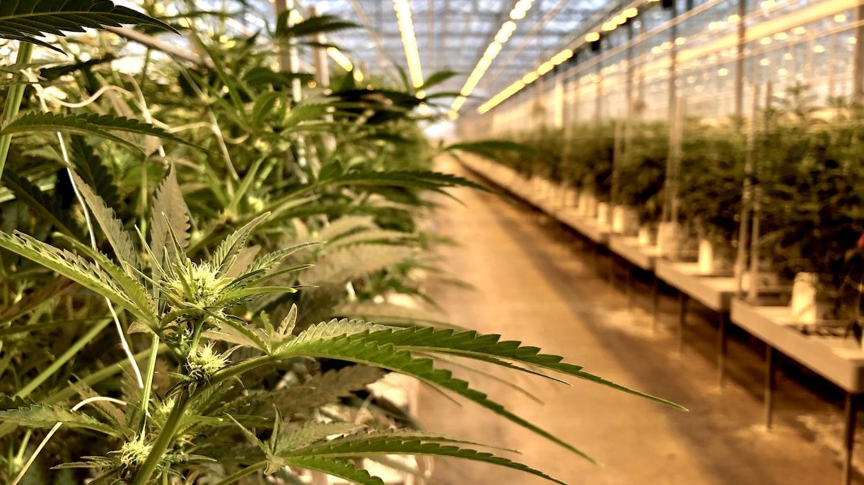 Des plantes de cannabis dans une serre.