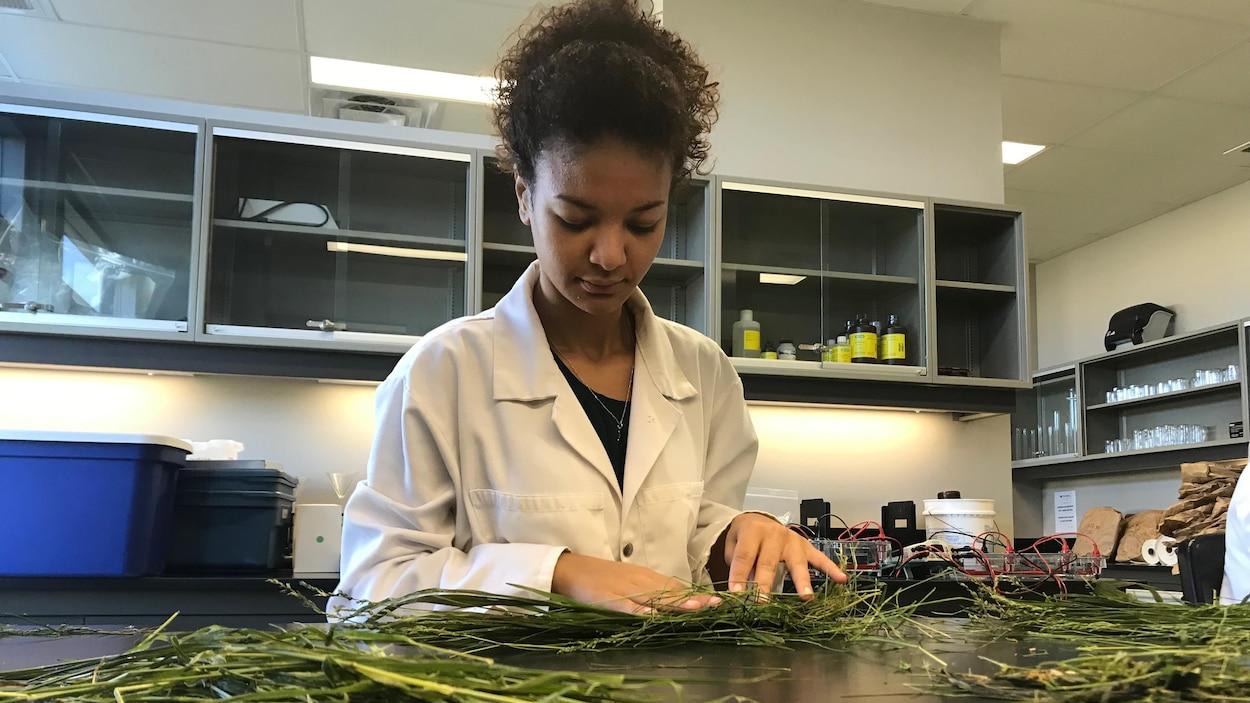 Une femme trie des bouts de foin sur un comptoir de laboratoire.
