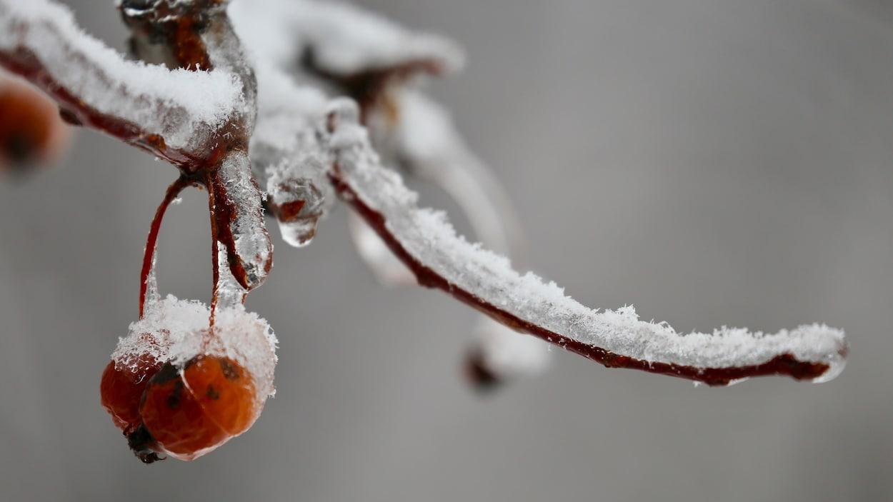 Une branche et un petit fruit glacés et enneigés