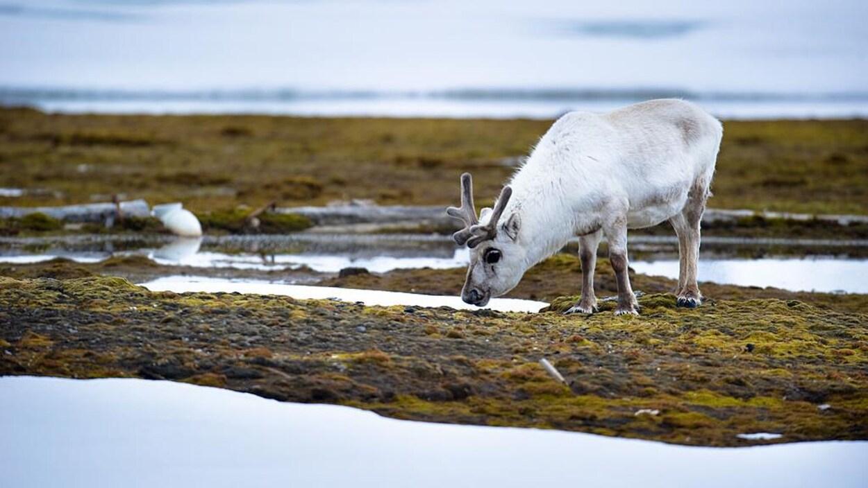 Un renne au poil blanc au milieu de la toundra.