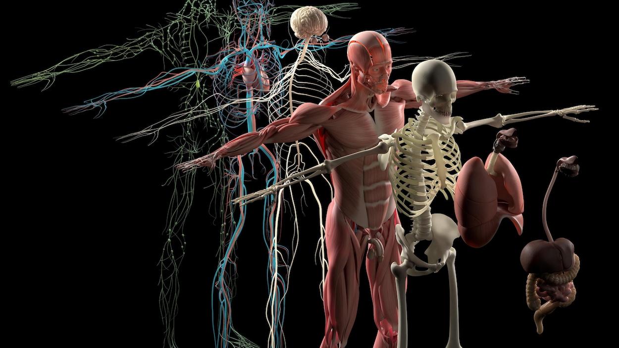L'anatomie humaine.