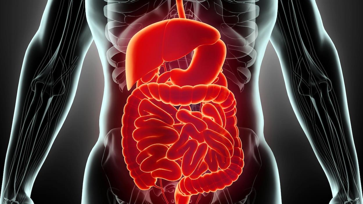 Illustration montrant le système digestif d'un humain.