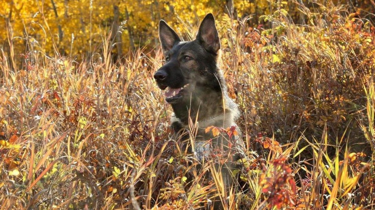 Le chien Jester, du Service de police de Calgary