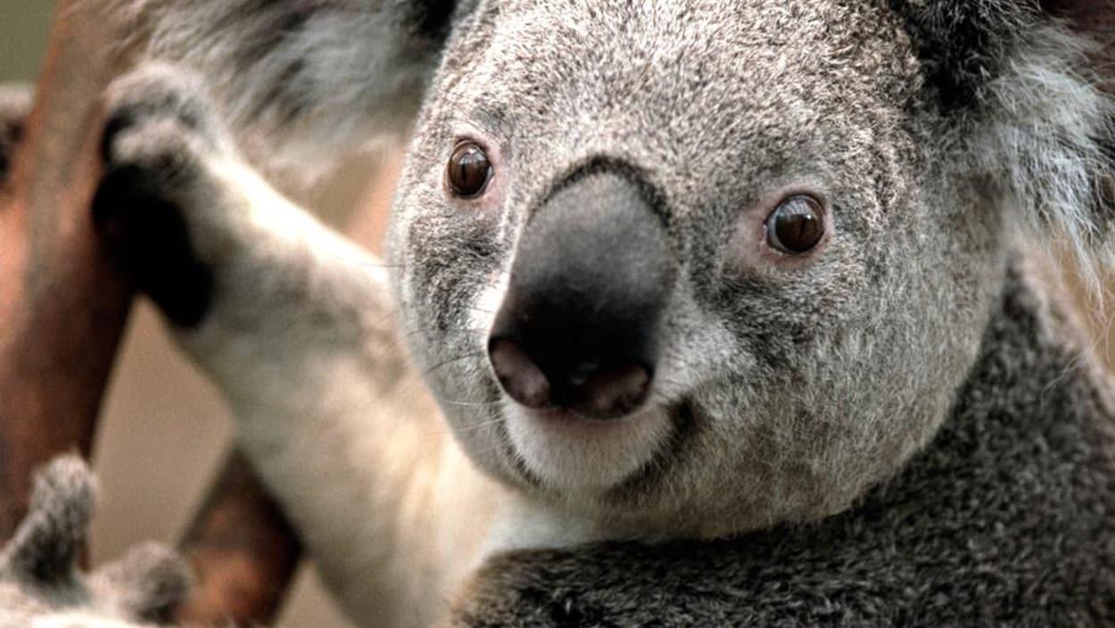 Un koala perché sur un arbre.