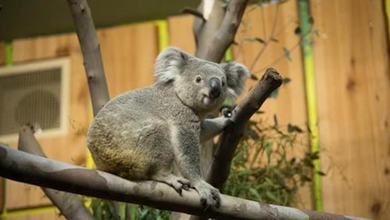 Le koala Tanami est assis sur une branche.
