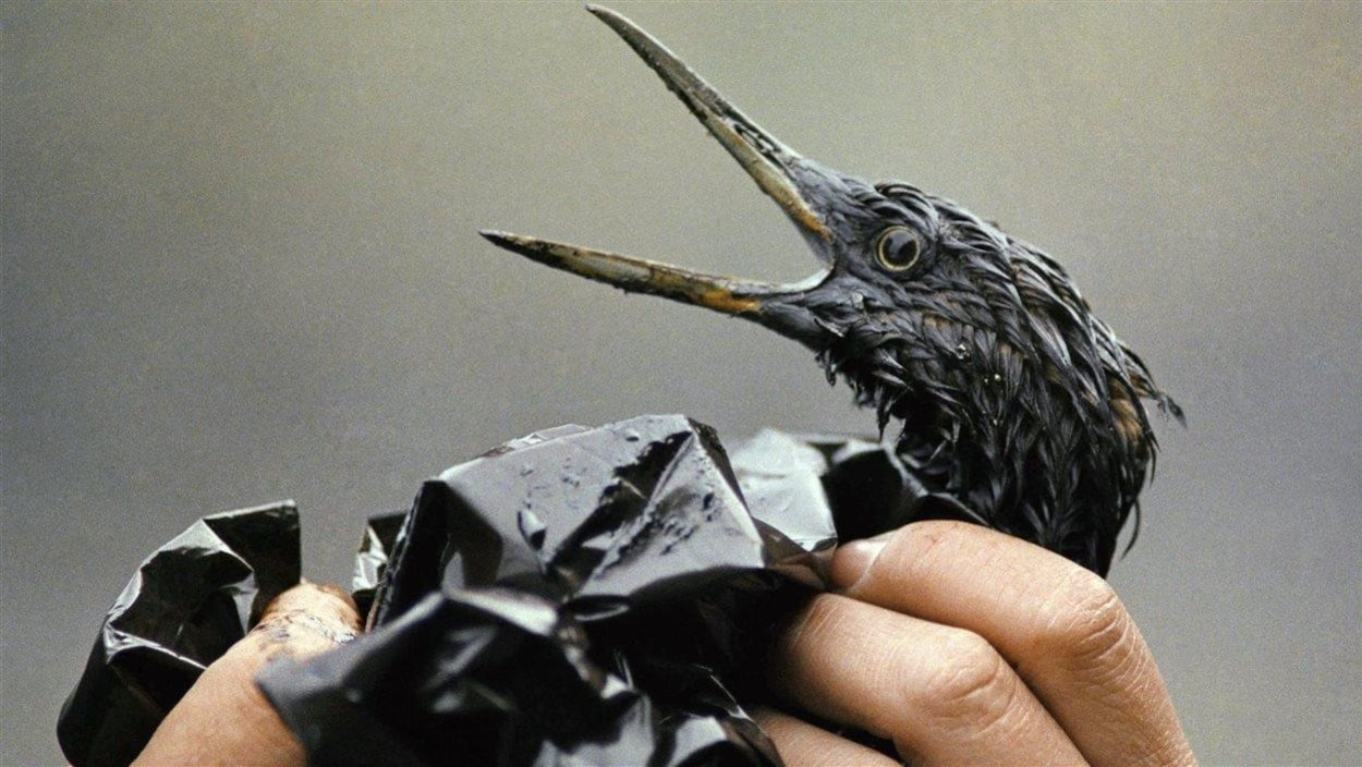 Un oiseau couvert de pétrole, après la catastrophe.