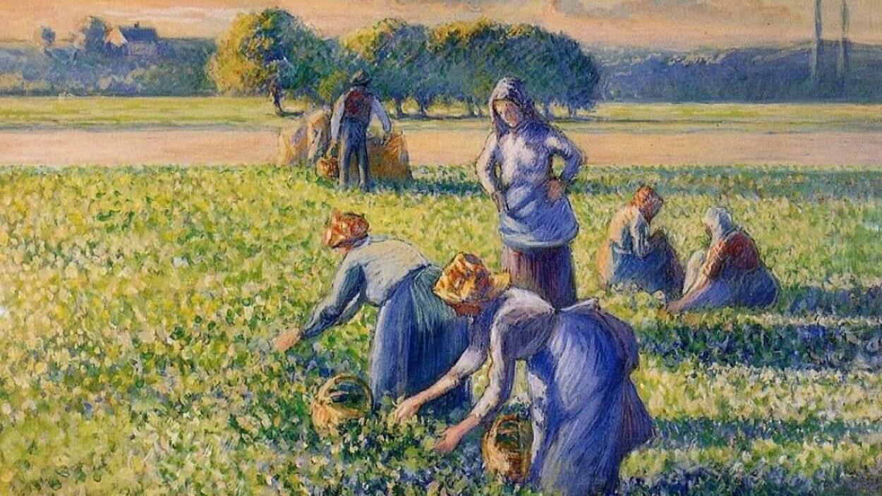 Des femmes travaillent penchées dans un champ de pois.