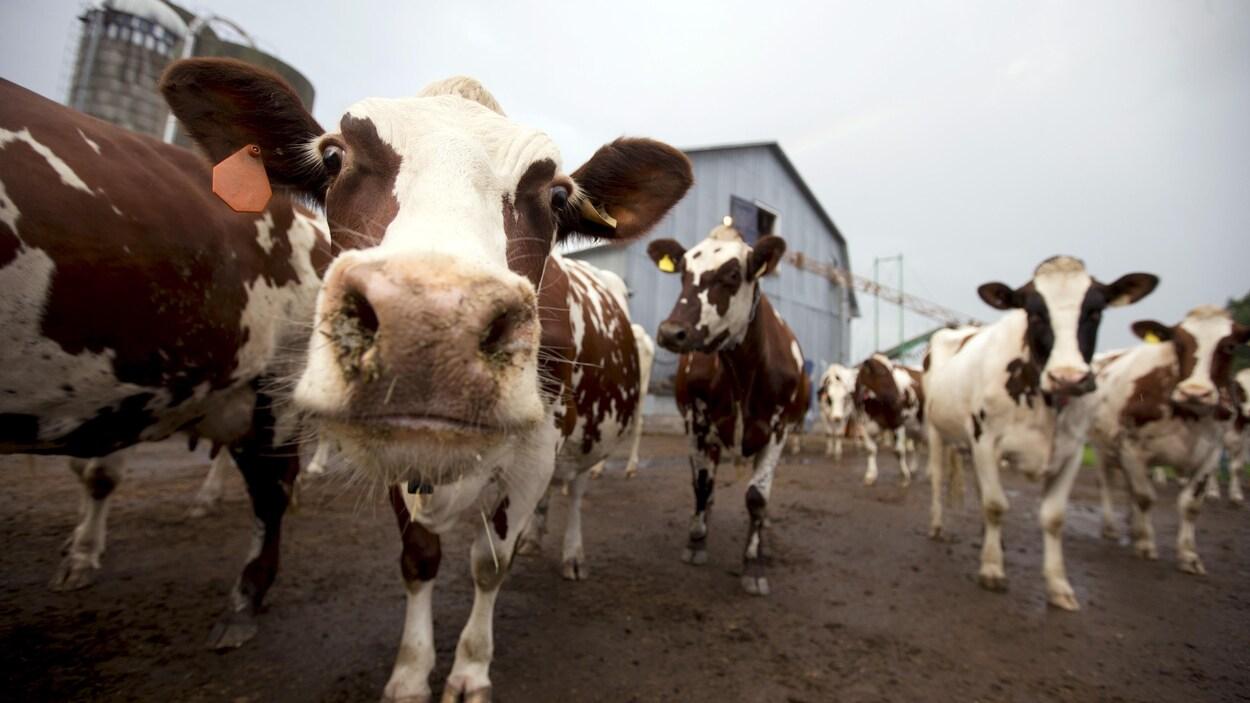Une vache regarde curieusement l'objectif de la caméra.