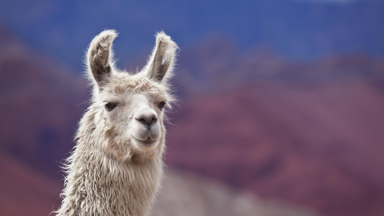 On voit la tête d'un lama blanc, en gros plan, de face. En arrière-plan, les montagnes.