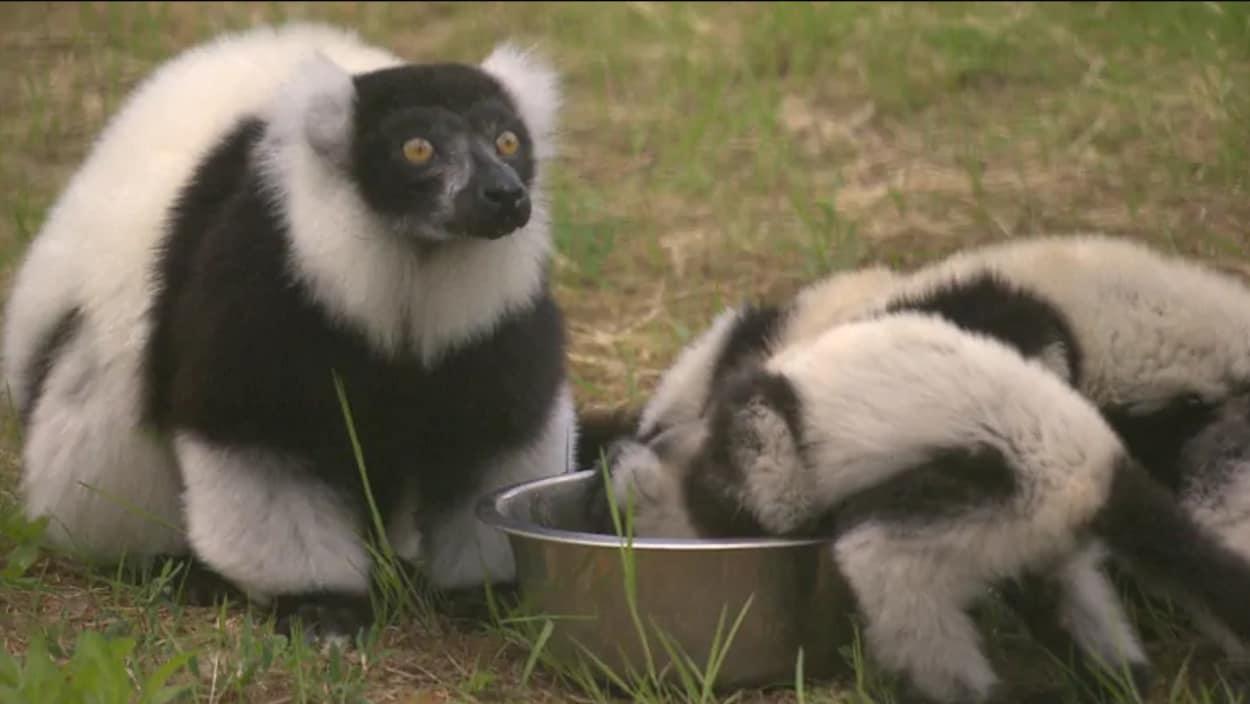 Deux lémurs mangent leur nourriture.
