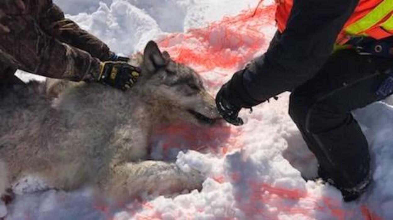 Un loup capturé dans un filet.