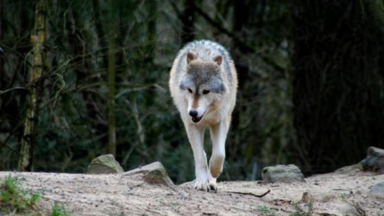 Un loup marche dans la forêt.