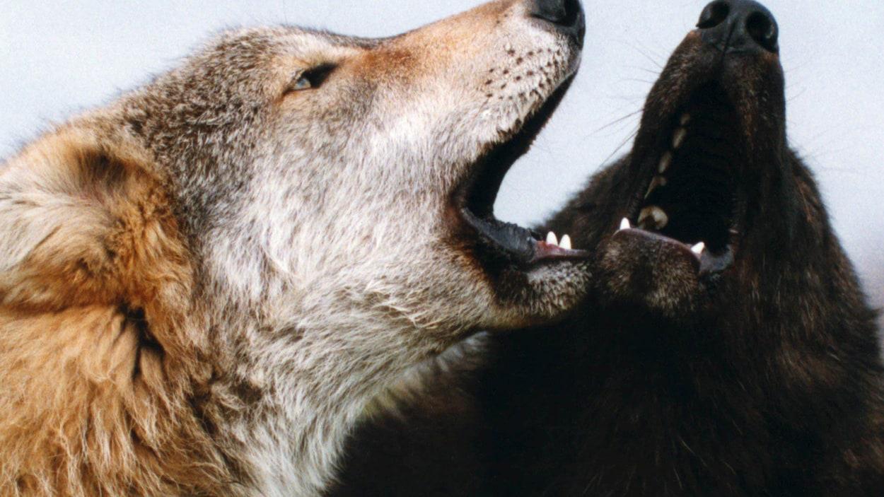 Plus de 2000 personnes ont hurlé comme des loups ensemble à Thompson dans le nord du Manitoba jeudi pour battre un record inscrit dans le Livre Guinness des records ».