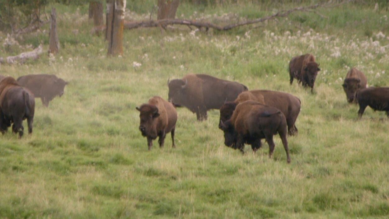 Des bisons mangent de l'herbe dans un champ.