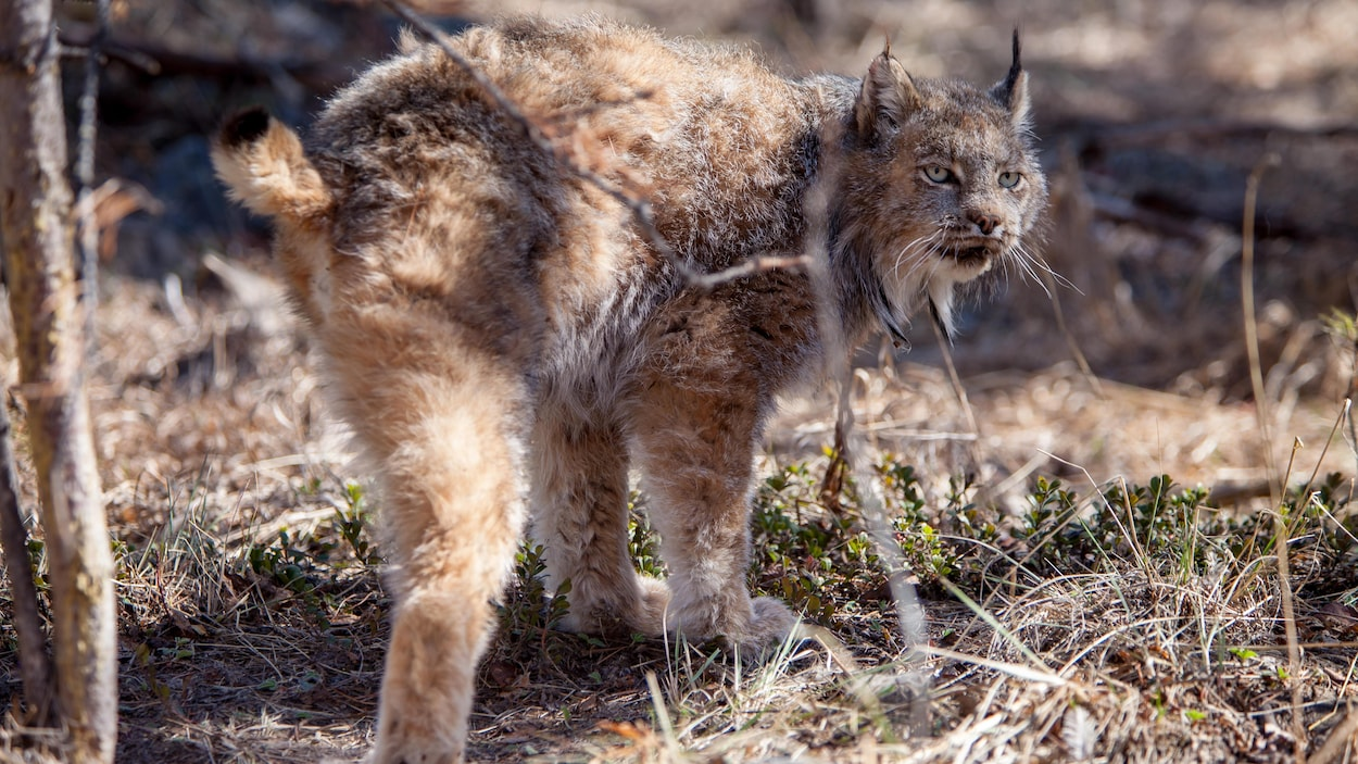 Le lynx à trois pattes, debout, sur des herbes sèches. regarde au loin.