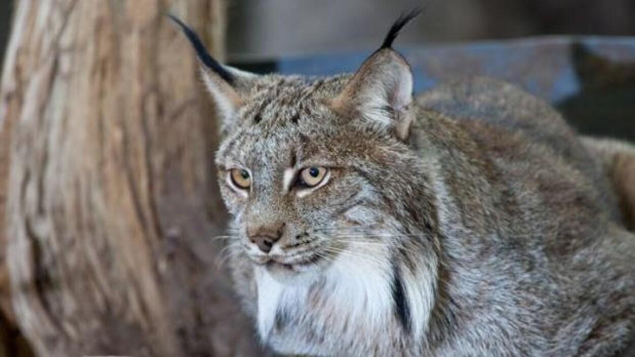 Un lynx.