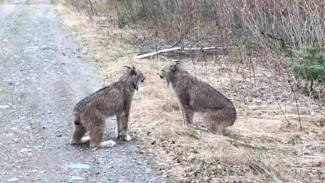 Deux lynx en train de crier sur le bord d'une route.