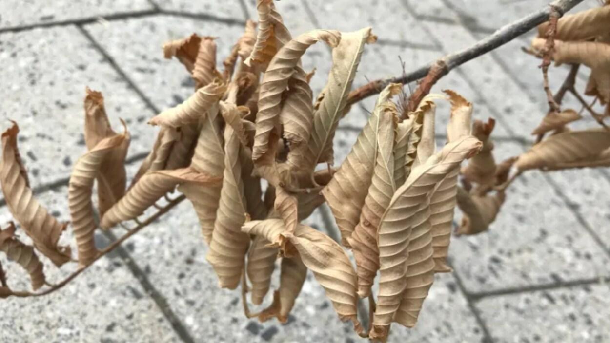 Gros plan sur des feuilles dont l'arbre est infecté de la maladie.