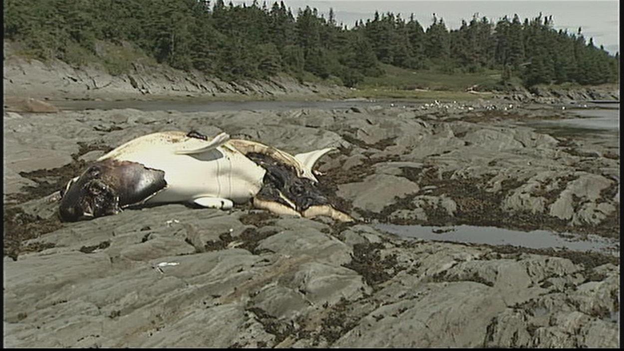 Un béluga mort échoué sur le rivage